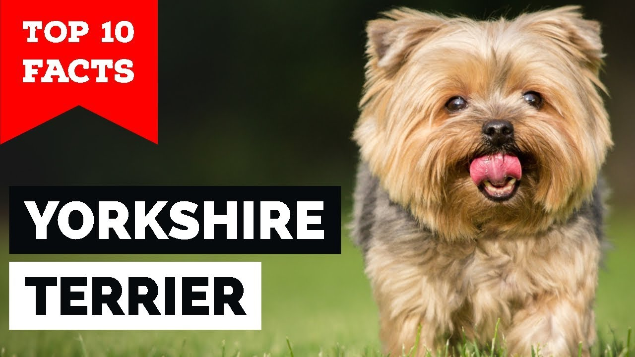 Yorkshire Terrier Top 10 Facts Toy Dog Youtube