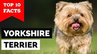 Yorkshire Terrier - Top 10 Facts (Toy Dog)