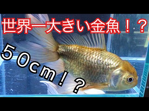 世界一大きい金魚を飼う!その金魚の名は!?