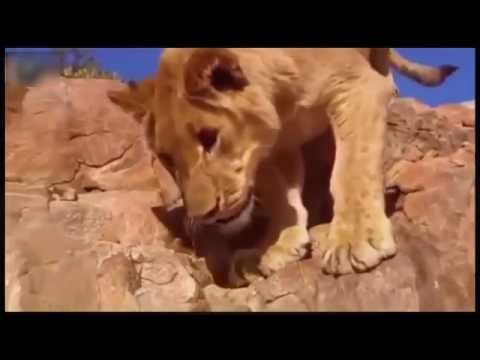Lion Vs Baboon Fight To Death Jungle Predators (Exclusive Lion Attack)