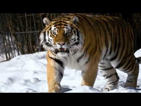 видео: ЛУЧШИЕ ФОТО ТИГРА | Фото АМУРСКИЙ ТИГР