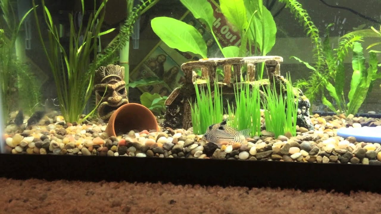 20 gallon african dwarf frog cory cat tank youtube for Fish tank frogs