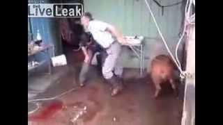 Pig slaughter axe fail