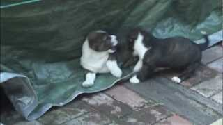 Cute Puppies Fos And Ebo Play Fighting (cardigan Welsh Corgi's; 9 Weeks Old)