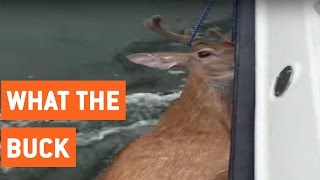Fishermen Save Deer From Middle of Ocean | Deer Rescue