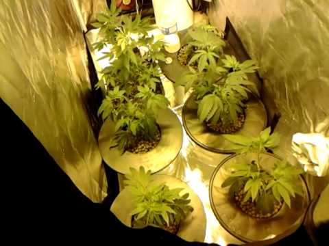 Cannabis Mini Tent Grow