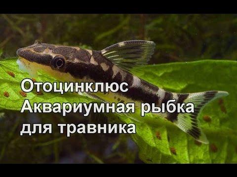 Отоцинклюс рыбка для травников
