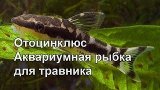 Отоцинклюс рыбка для травников(Аквариумистика и мир муравьев http://www.youtube.com/channel/UCOAp8SDwmyklfM58Xm39AQw?app=desktop Наш канал ..., 2015-08-16T10:14:17.000Z)
