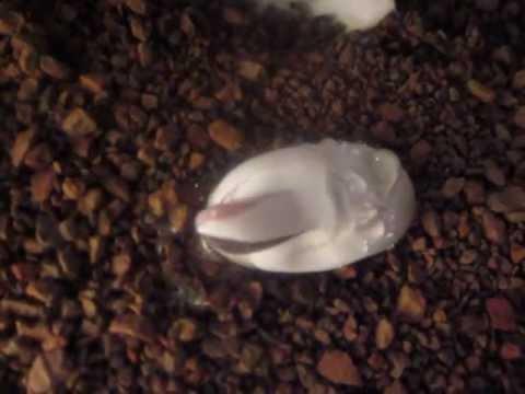 baby leopard gecko hatching - YouTubeLive Leopard Gecko Hatching