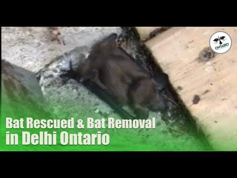 Bat Removal Delhi Ontario - Bat Rescued From Living Room
