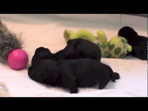 Scottish Terrier Mattie's Puppies - The Second Week