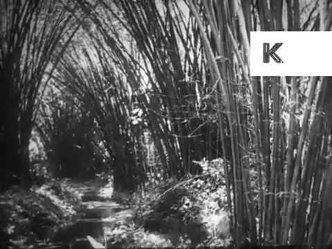 1930s Trinidad, Jungle, Plantations