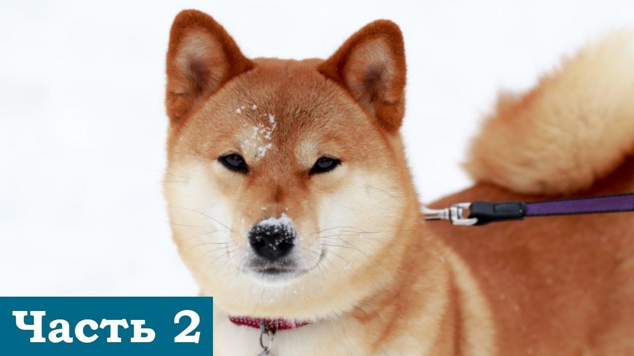Топ -10 псов породы Шиба ину - YouTube
