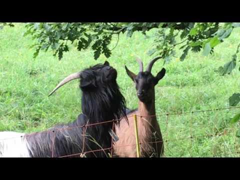 Goat Collaboration