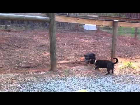 Wild Hog Vs. Yard Dog