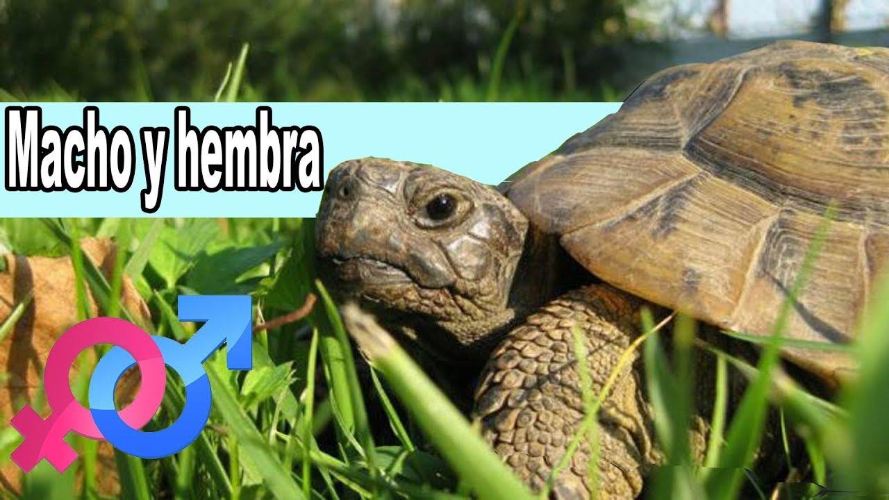 Diferenciar Macho y Hembra de tortugas de tierra - YouTube
