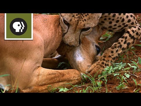 Cheetah Mom Teaches Cubs to Hunt