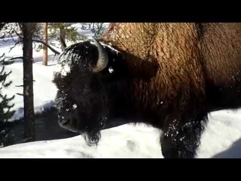 Winter in Yellowstone - February 2016 Video