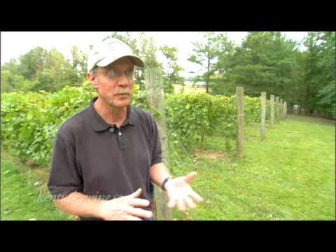 Vintage Kentucky Tastings - Growing Grapes In Kentucky