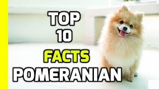Top 10 Amazing Facts About Pomeranians( Pomeranian Dog Breed Information)