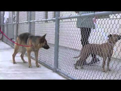 Please Help Save A 2 yr. German Shepherd Named Savannah!