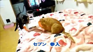 2018.3.27 テッシュの空箱で遊んだよ 猫動画 thumbnail