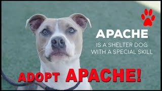 Best Dog at the Shelter - Needs Rescue - Adopt APACHE!