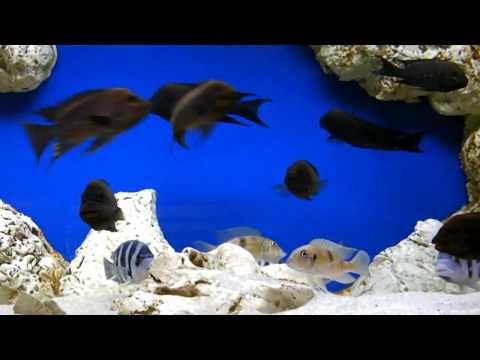 1000l community Petrochromis trewavasae Moliro &Cyphotilapia gibberosa blue Zaire Kapampa.2