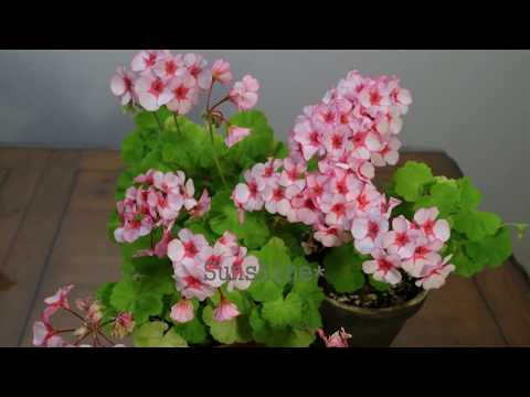 Pelargonium Scottow Star  스코토우 스타