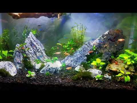 aquascape-iwagumi-usia-1-bulan-tanpa-co2-#aquascapeindonesia-#aquascapepemula-#aquascaper