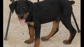 Rottweiler Puppy In Training (for Sale)
