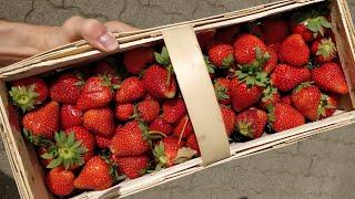Jak dostać truskawki za darmo?