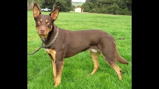 #19 AUSTRALIAN KELPIE 2/3   | Which Dog Should I Get? Dog Breed Selector
