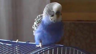 Говорящий попугай Кеша (2) Диалог попугая и человека:)