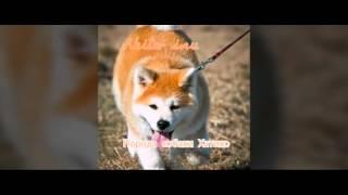 Akita- inu  Порода собаки Хатико