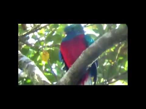 El Quetzal En Su Habitat Natural