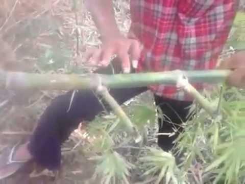 Misteri Penemuan Bambu Temu Rose YouTube
