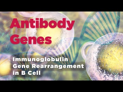 B cell / Antibody genes / immunoglobulin gene rearrangement  - Simply defined in 30 seconds