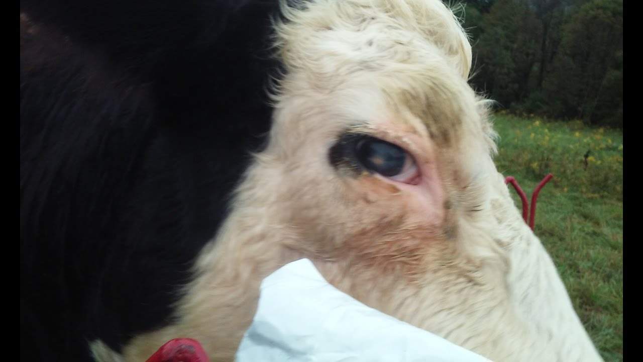 Cow With Pink Eye How Pink Eye Starts Youtube