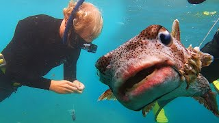 Puffer Fish Asks Diver for HELP (Animal Rescue)
