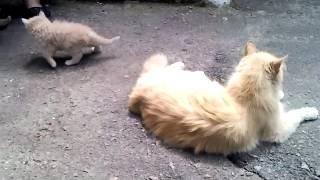 Сибирская кошка и котята. Персиковые