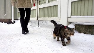 Как гулять с котом зимой?; How to walk a cat in the wintertime?