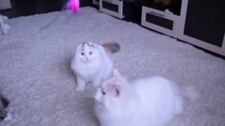 ODD EYED CAT Мои разноглазые кошки)