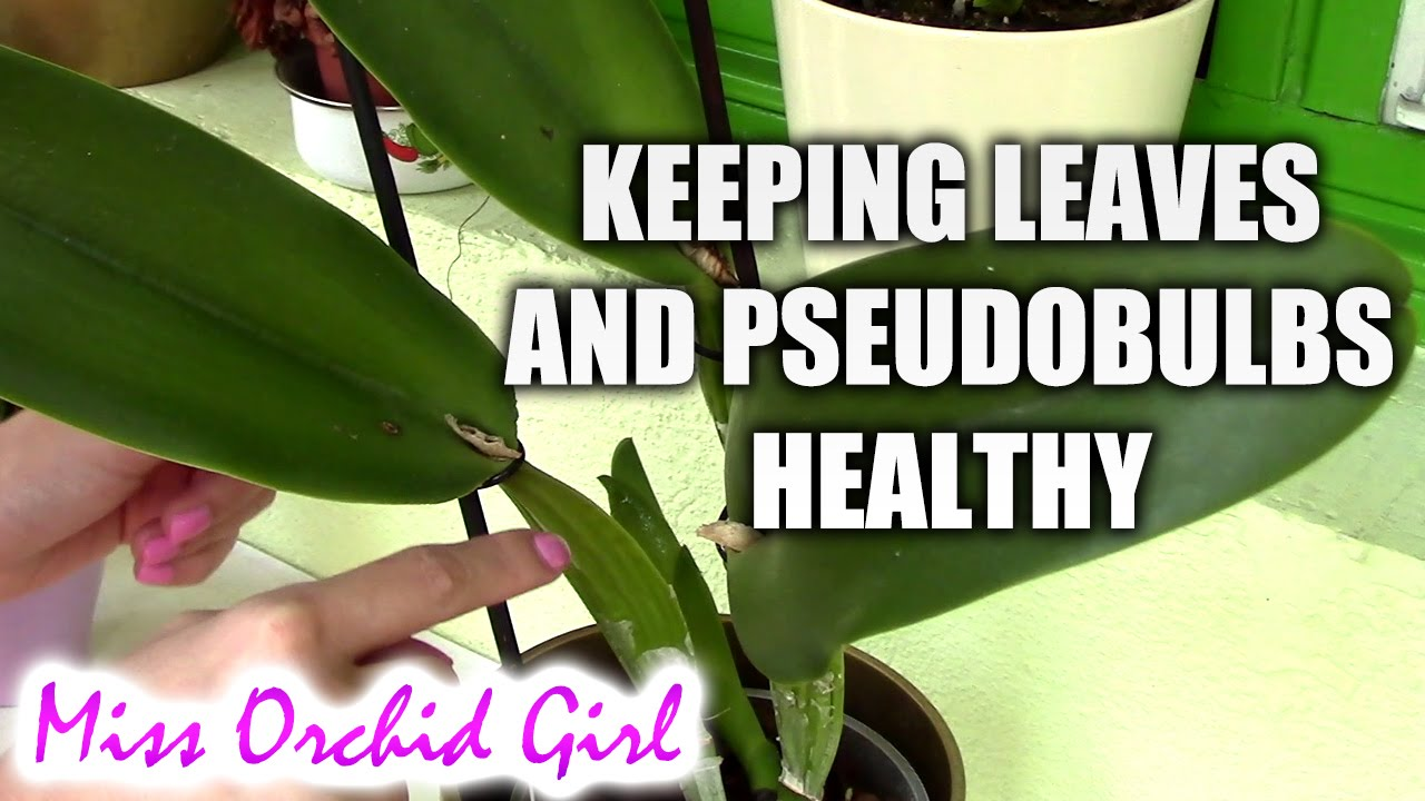 Orchid Maintenance 1 2 Keeping Leaves And Pseudobulbs