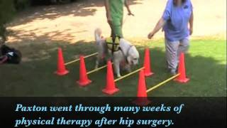 Golden Retriever Hip Therapy Exercises From Crocker Animal Hospital Ky