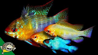 Angelfish and German Blue Ram Fish Room Tour with Master Breeder Dean