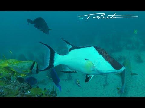 HOGFISH At Key Biscayne Reef HD