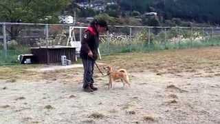 柴犬の花子ちゃん、楽しくしつけトレーニングをやってます!! まだ初め...