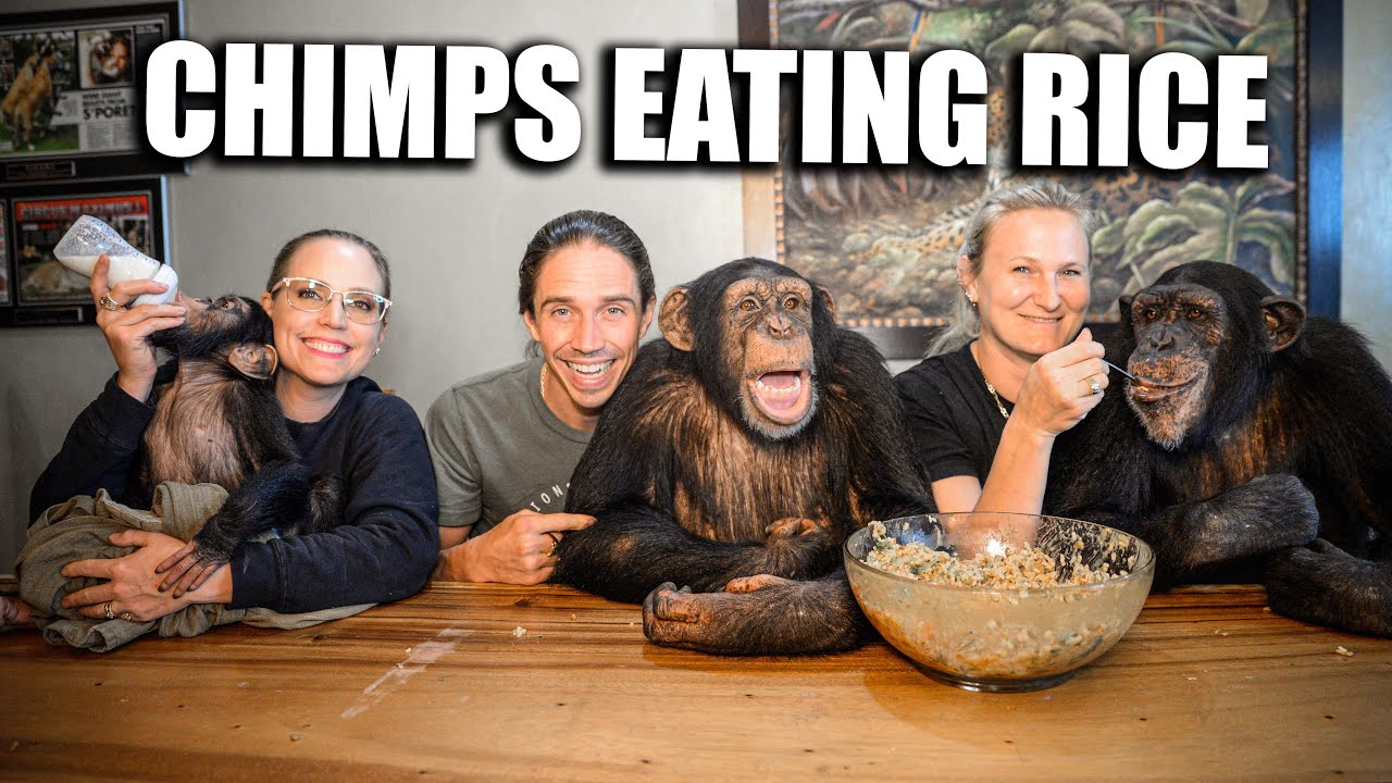 Chimpanzees Eat Rice | Chimp Dinner Live