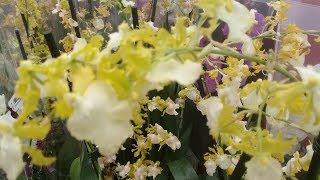 Обзор орхидей из Бауцентра ;13 января